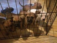 STAFFY 'STAFFORDSHIRE BULL TERRIER' PUPS FOR SALE £350***