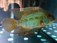 True parrot fish