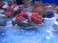Bright Red Mushroom Corals. Marine Aquarium, coral frags