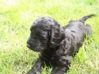 SPROODLE PUPPIES READY FROM 28th JUNE