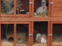 3 female guinea pigs & double pets at home bluebell hideaway hutch