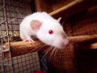 Male Siamese Rattie