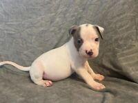 Xl American bully puppy's last 2 males left
