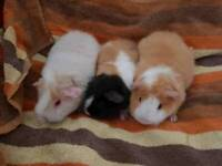 Teddie guinea pigs