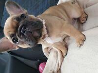 French bulldog puppies 2 Girls