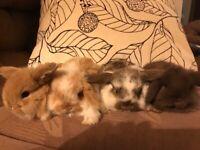 Baby Mini-Lop Rabbits