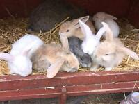 BEAUTIFUL FRENCH LOP BABYS 3 LEFT