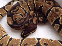 Female Ball Python for sale possible het Pied