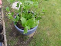 TWO ESTABLISHED HYDRANGEA PLANTS WITH POTS
