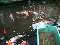 koi fish for sale