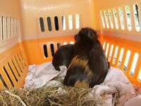 2x male guinea pigs