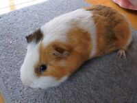 YOUNG MALE GUINEA PIG