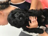 Beautiful cockapoo puppies ready to go to there forever homes