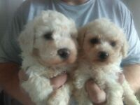 bich_poo puppys for sale