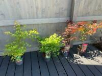 Acers £25 each