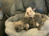 French bulldog puppies *pied *blue *blue brindle.