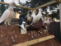Six gorgeous pigeon for salle