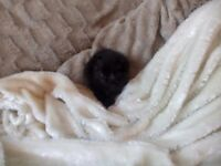 *****TABBY TINY FLUFFY KITTEN BLACK WITH BROWN TABBY MARKINGS FOR SALE*****