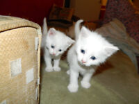 6 male kittens for sale