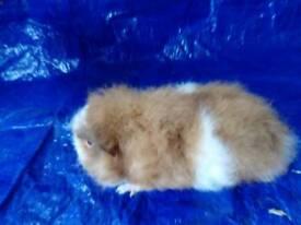 Fluffy male guinea pigs