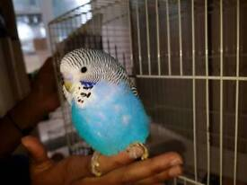 Hand tame blue budgie