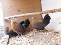 POL Pure Breed Gold Dutch bantams trio hens & cockerel chickens poultry