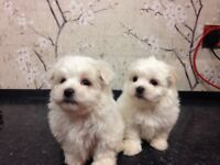 2 absolutely stunning male maltipoo puppies ONLY ONE LEFT!