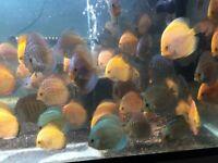 tropical discus fish for sale , great aquarium community fish