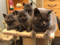 BSH Blue Kittens Available. GCCF Regitered