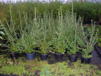 ESCALLONIA flowering hedging evergreen potted 3-4ft tall great value £5,Plant now.