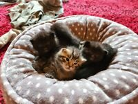 Half Ragdoll kittens for sale