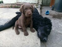 Curly coated retriever x Chesapeake bay retriever puppies