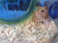 Male Syrian Hamster for sale