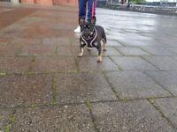 Kc registered French bulldog female