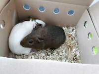 Guinea pigs with cage etc