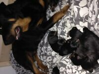 4 girl Rottweilers