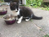 Black / white female kitten