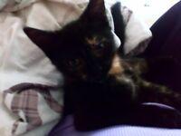 Beautiful 11 week old kitten