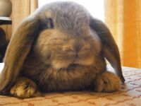 Gorgeous Baby French Lop Bunnies :)