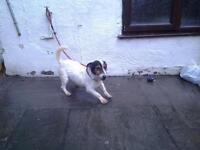 Jack russel in need of a new home.