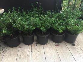 TEN Japanese Holly (Ilex crenata) plants sold as a lot- 30-40cm from pot to top