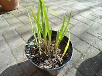 Crocosmia plants in a 18 cm black plastic pot