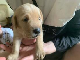 Pure Bred Chunky Labrador Pups *1 golden male left****