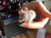 Mouse babies for sale