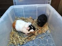 Lovely Guinea Pings need new home