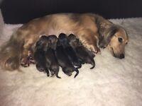 Mini long hair dachshunds puppies. KC reg. shaded cream PRA clear