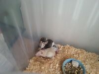 Friendly and tame rats for sale