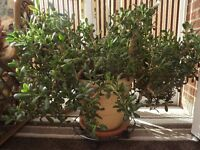 2 Household Plants - 1 Cheese Plant, 1 Money Tree Plant (see photos)