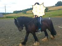 Cob gelding for sale