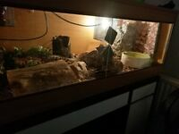 2 Ball Pythons, Male and Female, Inc Viv